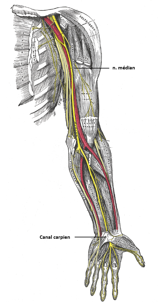 osteopathe-bayonne-nerf-median